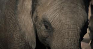 Cancro, gli elefanti sono colpiti di rado