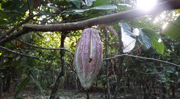 Carenero Superior, il cacao per cioccolato e gelato di qualità