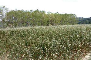 Il grano saraceno, base dei pizzoccheri valtellinesi, è anche fonte di benessere e salute