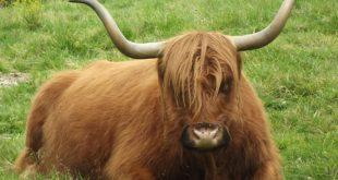 Adotta una Mucca; un'iniziativa valtellinese che avvicina la gente alla campagna e alla montagna
