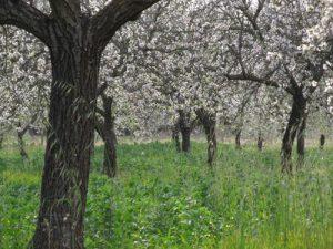 Le Mandorle, regine della frutta secca italiana e protagoniste della pasticceria siciliana