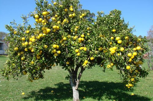 Il Bergamotto, l'oro verde di Calabria: un vero toccasana per la salute