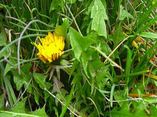 Il tarassaco fiore primaverile utile in cucina e per la - Inulina in cucina ...