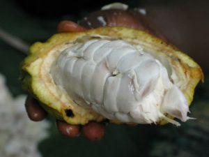 Dal cacao al cioccolato: una storia di 3000 anni per l'alimento più goloso