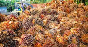 Olio di palma: è davvero dannoso per la salute e per l'ambiente?