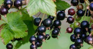 Allergie primaverili? Può aiutarci il Ribes Nigrum, antinfiammatorio naturale