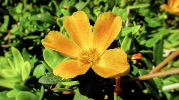 Alimenti 10 e lode. La portulaca, fiore semplice dalle proprietà straordinarie