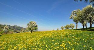 Tarassaco o dente di leone, il sole giallo dei prati alleato della nostra salute