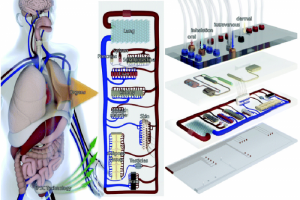Organi chip: una soluzione per ridurre la sperimentazione su animali