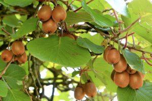 Alimenti 10 e lode. Il Kiwi: verde smeraldo per un frutto prezioso e sano