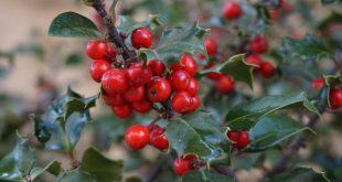 Holly: il fiore di Bach dell'Amore universale cresce lentamente