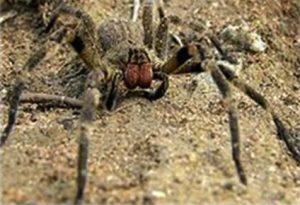 Potenza sessuale dell'uomo: un aiuto dal veleno di ragno?