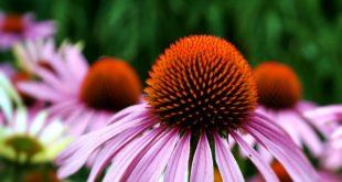 Echinacea: riduce la durata delle malattie da raffreddamento