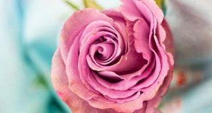 Olio essenziale di Rosa: proprietà, usi e controindicazioni