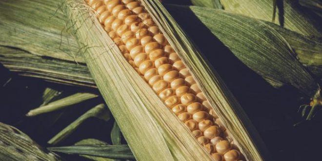 Alimenti 10 e lode. Il mais vuol dire polenta: ecco il cibo delle masse