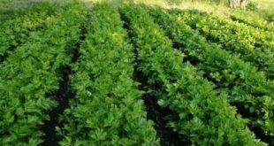 Il sedano di Gesualdo principe dell'orto: arriva il presidio Slow Food