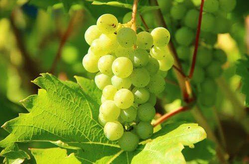 Uva: i benefici e le proprietà del frutto simbolo dell'autunno