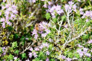 Il miele di timo ibleo, in Sicilia, è un nuovo Presidio Slow Food